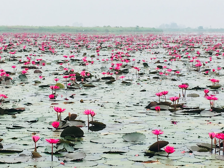 タイ ウドンタニ タレーブアデーン 睡蓮の海